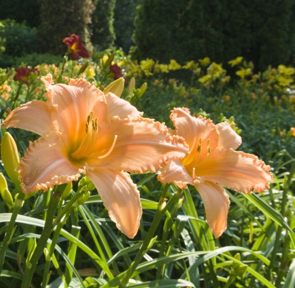 Daylilies in the West Flower Walk