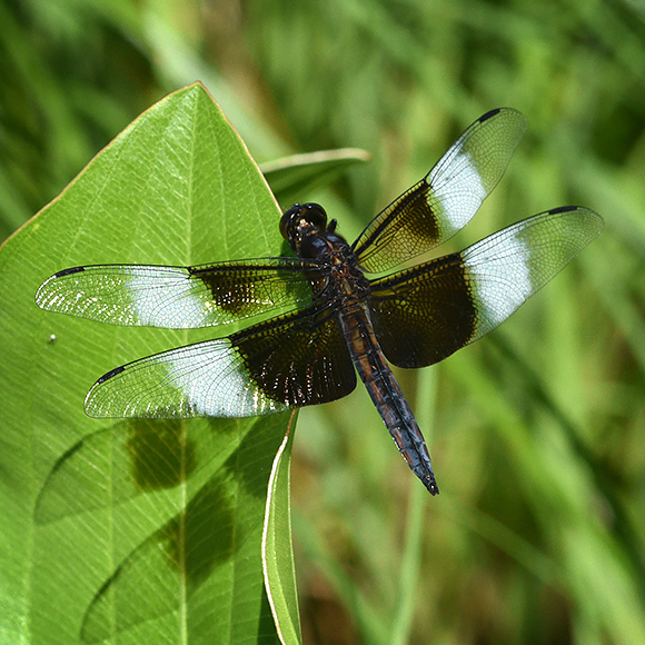 Dragonflies capture summer