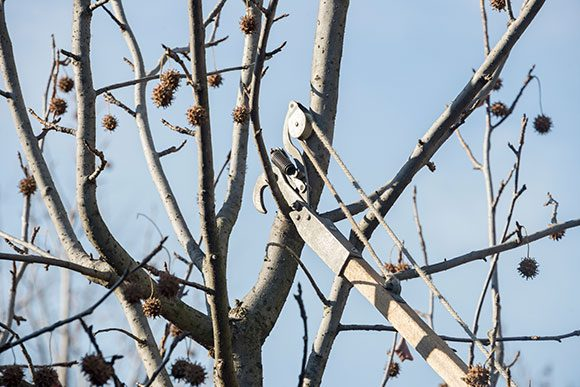 Winter is the perfect time to prune deciduous trees or remove nuisance buckthorn.